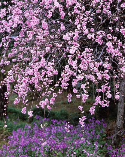 Shidare Cherry Blossoms spring Kodama Saitama Japan Pink : Stock Photo