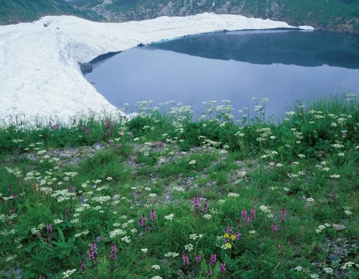 Stock Photo: 4034-23772 Alpine flora Mikurigaike Pond Lakeside Tateyama Toyama Japan Flower Plant