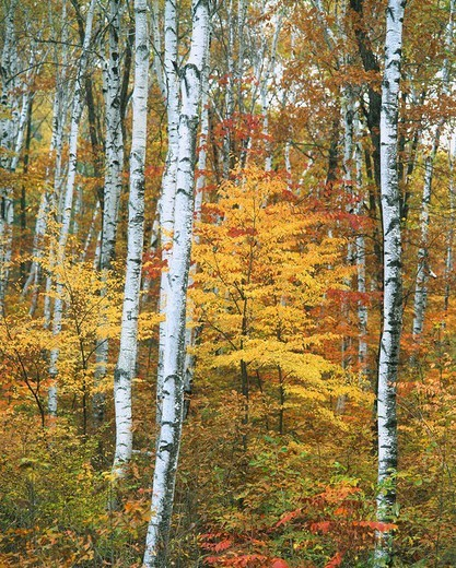 White birch, yellow coloring of leaves, Concept, Japan : Stock Photo