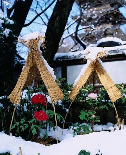 Paeonia suffruticosa Andr., Ueno Toshogu Shrine, Ueno, Tokyo, Japan : Stock Photo
