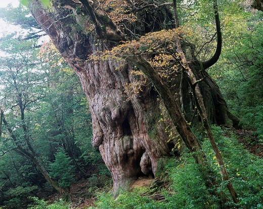 Stock Photo: 4034-26752 Jomon Cedar, Autumn, Yaku Islands, Kagoshima, Japan