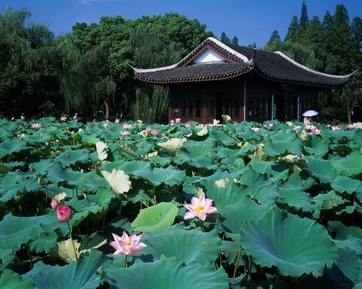 Lotus, Xihu, Quyuanfenghe, Many-storied building, Hangzhou, Zhejiang, China : Stock Photo