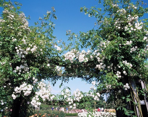 Rose Arch White Green The Queens Mary garden London United Kingdom : Stock Photo