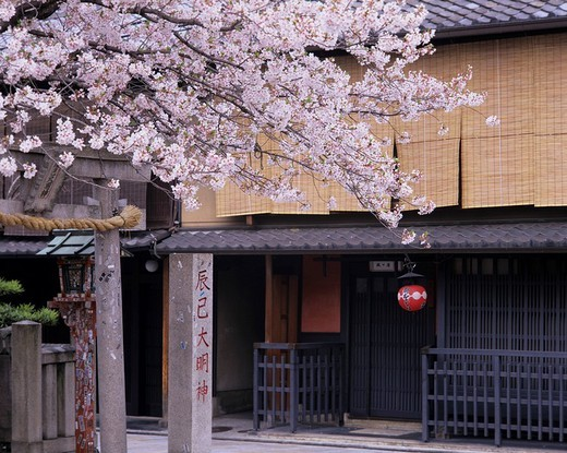 Stock Photo: 4034-3184 Cherry Blossoms Tea stall Shinbashi Gion Kyoto Kyoto Japan Paper lantern Pink Full bloom