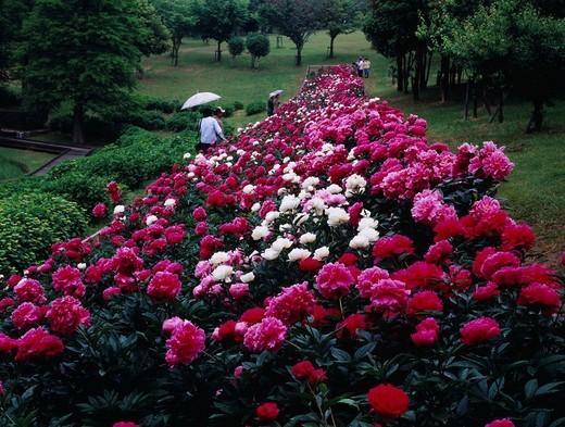 Paeonia lactiflora Pall, Asahi park, Chita, Aichi, Japan : Stock Photo