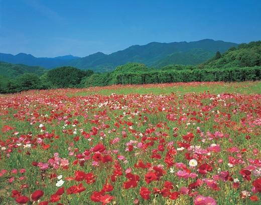 Poppy, view park Tamagawa, Imabarishi, Ehime, Japan : Stock Photo