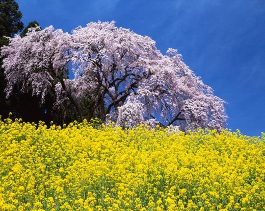 Battle place, Weeping cherry tree, Rape blossoms, Flower, Plant, Iwashiro, Fukushima, Japan : Stock Photo