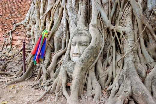 Sacred tree, sleeping buddhist head in Tompo, Wat Phra Mahathat, Ayutthaya, Thailand, World Heritage, January : Stock Photo