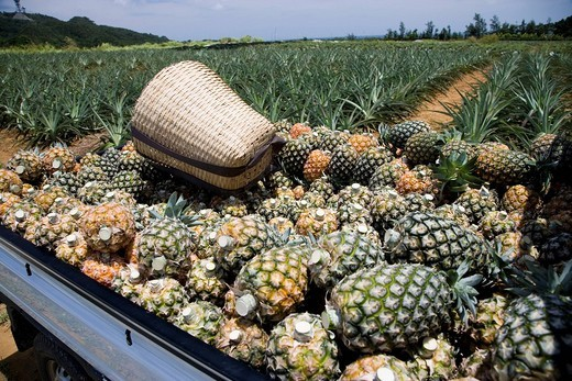 Stock Photo: 4034-3943 Pineapple, harvest, Basket, Field, Iriomotejima, Okinawa, Japan