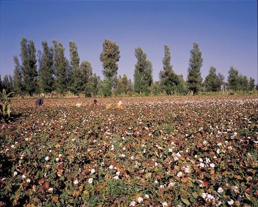 Cotton Farm, Jiuquan, Gansu, China : Stock Photo