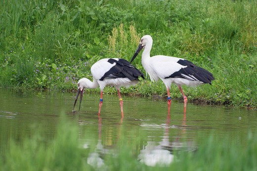 Stork, Homeland for the Oriental white stork, Toyooka, Hyogo, Japan : Stock Photo