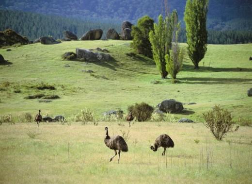 Emu Wildness refuge Near Canberra Australia : Stock Photo