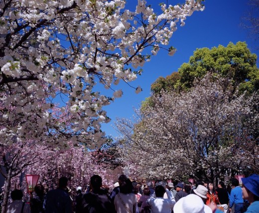 Stock Photo: 4034-43558 Mint, Bureau, Cherry Blossoms, Osaka, Osaka, Japan