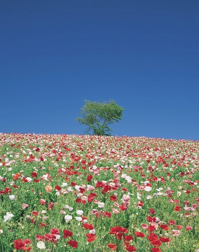 Hill of Shikisai, poppy, Biei, Hokkaido, Japan : Stock Photo