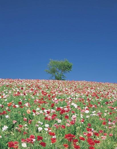 Stock Photo: 4034-45563 Hill of Shikisai, poppy, Biei, Hokkaido, Japan