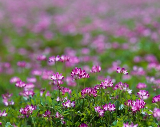 Flower, Purple, Gregariousness, Chinese milk vetch, field, Asuka Village, Asuka, Nara, Japan : Stock Photo