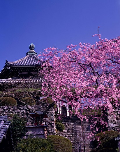 Weeping cherry tree Zenpo Temple Kyoto Nishiyama Kyoto Japan Blue sky Building Pink : Stock Photo