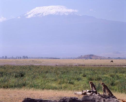 Cheetah, Kilimanjaro, Amboseli National Park, Kenya : Stock Photo