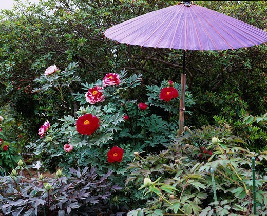Tsukuba Peony Garden, Tsukuba, Ibaraki, Japan : Stock Photo