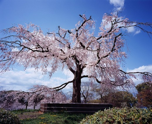 Stock Photo: 4034-4940 Maruyama Park, Weeping cherry tree, Kyoto, Kyoto, Japan