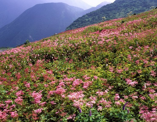 Ibuki_yama Shimotsukeso Wild Grass, Ibuki_cho Shiga Alpine flora Flower : Stock Photo