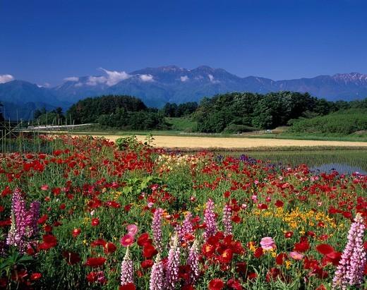 Poppy, Flower field, Flower, Blue Sky, Green, Red, Mountain, flower, South Japanese Alps, Nagasaka, Yamanashi, Japan : Stock Photo