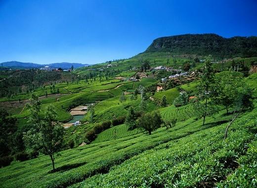 Stock Photo: 4034-5265 Slope English Tea field Nuwara Eliya suburbs Sri Lanka Industry Agriculture