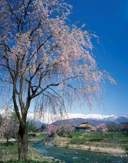 Hakuba mountain Range, Weeping cherry tree, Hakuba, Nagano, Koshin_etsu, Japan : Stock Photo