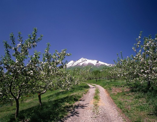 Apple garden Mt. Iwaki Iwaki Aomori Japan Industry Agriculture : Stock Photo
