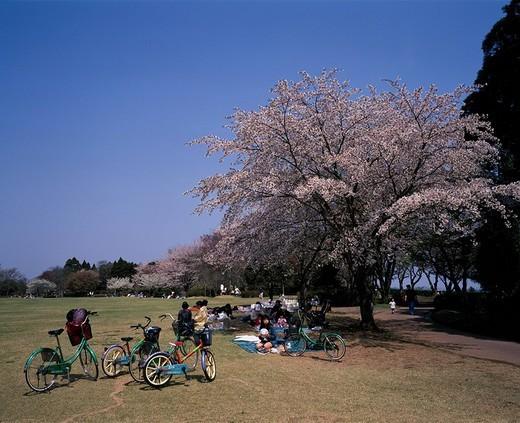 Showanomori nature park Cherry Blossoms spring Chiba Japan Sky Tree People Road Way Tree Bicycle Pink : Stock Photo