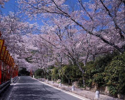 Way, Paper lantern, Paved road, Green, Sky, Pink, Cherry Blossoms, Tatsuno park, Tatsuno, Hyogo, Japan : Stock Photo