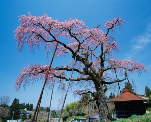 Weeping cherry tree Jizo Zakura, Koriyama, Fukushima, Japan : Stock Photo