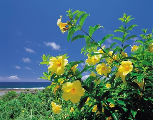 Allamanda cathartica var. hendelsonii, flower, Miyakojima Island, Okinawa, Japan : Stock Photo
