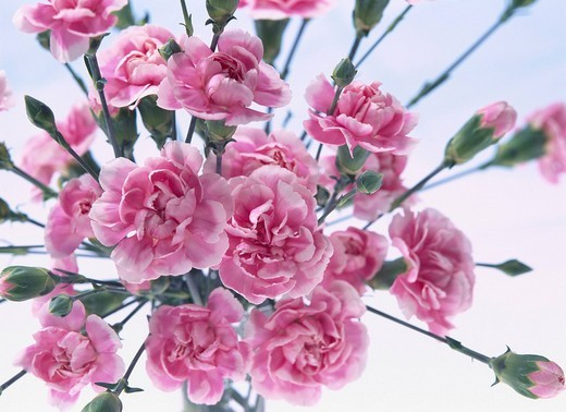 Flower pink carnation : Stock Photo