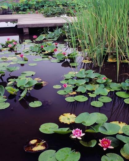Shinsui plaza, Nymphaea hybrida hort., Abiko, Chiba, Japan : Stock Photo