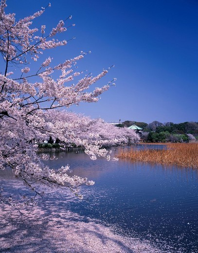 Stock Photo: 4034-63705 Shinobazu_no_ike pond Cherry Blossoms Ueno Park Tokyo Japan Blue sky Pink Light_blue