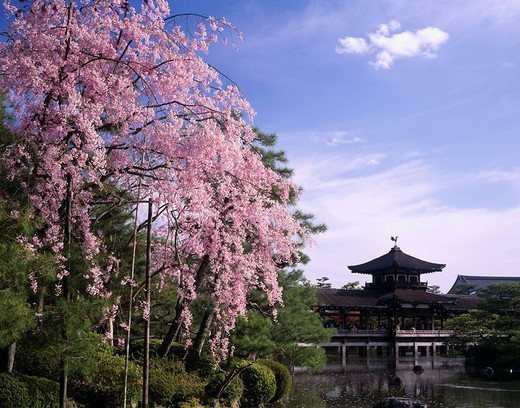 Weeping cherry tree Cherry Blossoms Cherry Blossoms Sakura Heian Jingu Shrine Kyoto Kyoto Japan Blue sky Clouds Building Tree Green Pink : Stock Photo