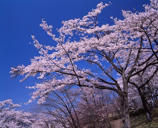 Stock Photo: 4034-67375 Minoyama park Cherry Blossoms spring Minano Saitama Japan Full bloom Blue sky
