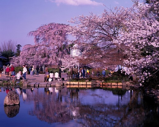 Cherry Blossoms Maruyama Park Gourd pond Kyoto Higashiyama Kyoto Japan Flower Plant Tree Pond Water surface Reflection : Stock Photo