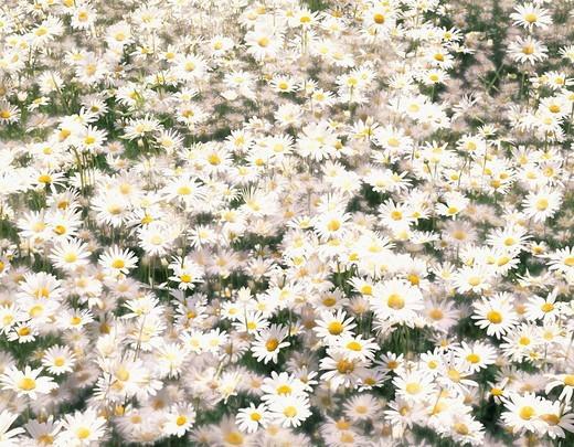 Concept, Oxeye daisy, Japan : Stock Photo