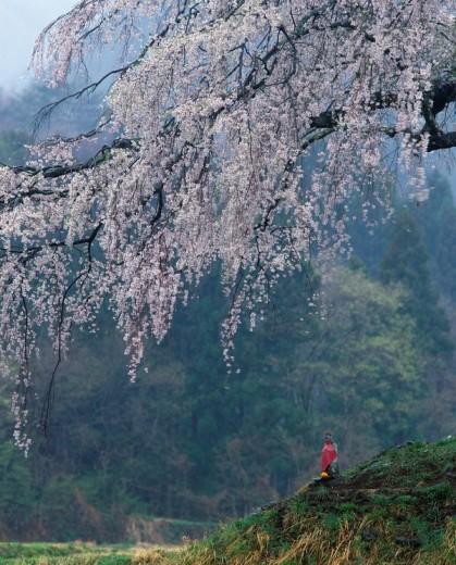 Jizo, weeping cherry tree, Numata, Gunma, Kanto, Japan : Stock Photo