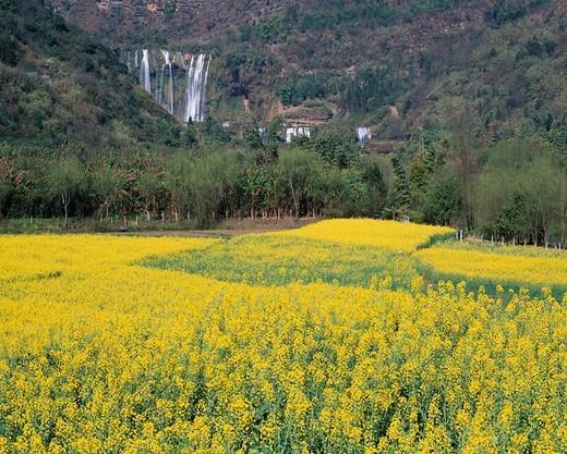 Field mustard field, Jiulong waterfall, Luoping, Unnan province, China : Stock Photo