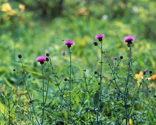 Wild grass Purple Thistle Kirigamine highland Chino Nagano Japan : Stock Photo