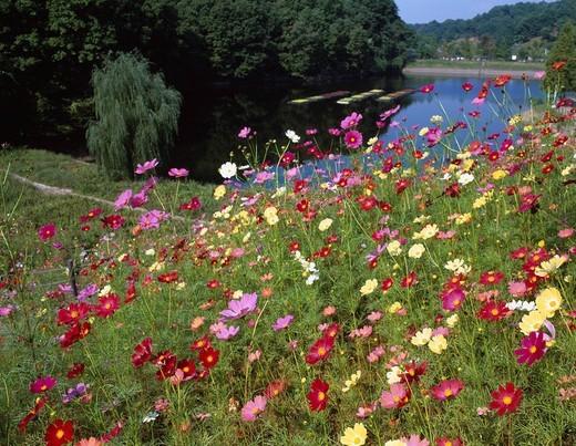 Stock Photo: 4034-79931 Flower festa commemoration park, Cosmos, Kani, Gifu, Japan