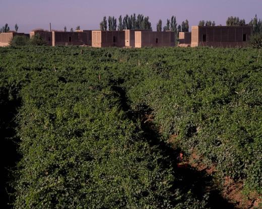 Stock Photo: 4034-83809 Vineyard, Turpan, Xinjiang Uygur Autonomous Region, China
