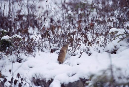 Stock Photo: 4034-85434 Snow Ezo rabbit Shikaoi Hokkaido Japan