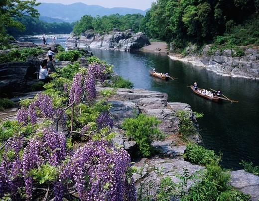 fresh green, Japanese Wisteria Flower, Layers of rock, Nagatoro line descending, Nagatoro, Saitama, Kanto, Japan : Stock Photo