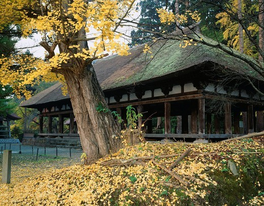 Stock Photo: 4034-87152 Kumano Shrine, temple company, length floor, Salisburia adianthifolia, Kitakata, Fukushima, Tohoku, Japan, November
