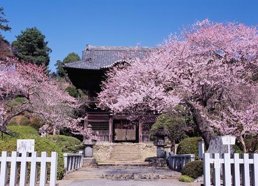 Weeping cherry tree, Syouden_in temple, Hidaka, Saitama, Kanto, Japan : Stock Photo