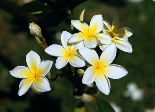 White Yellow Five valves Plumeria Hawaii : Stock Photo